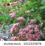 purple joe pye weed flowers | Shutterstock . vector #1012325878