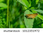 Small photo of orange Hesperiidae sitting on a clover leaf