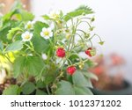 strawberry plant with fruits... | Shutterstock . vector #1012371202