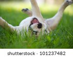 cute english bulldog puppy... | Shutterstock . vector #101237482