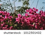 Bougainvillea Flower In Classi...