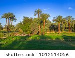 date palm trees plantation in... | Shutterstock . vector #1012514056