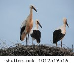 young storks standing in a...   Shutterstock . vector #1012519516