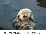 Sea Otter Floats On The Back ...