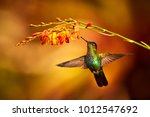 fiery throated hummingbird ... | Shutterstock . vector #1012547692