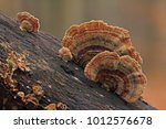 Trametes  Turkey Tail