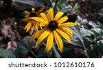 Yellow Black Eyed Susan Flower...