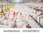 indoors chicken farm  chicken... | Shutterstock . vector #1012655812