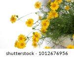golden fleece or thymophylla... | Shutterstock . vector #1012676956