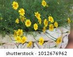golden fleece or thymophylla... | Shutterstock . vector #1012676962
