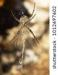 Female Lobed Argiope Spider ...