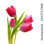 Close Up Pink Tulips Isolated...