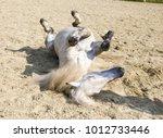 horse lying on the back | Shutterstock . vector #1012733446