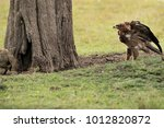 tawny eagle after a bat eared... | Shutterstock . vector #1012820872