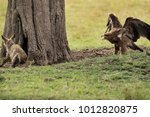 tawny eagle charging a bat... | Shutterstock . vector #1012820875