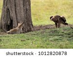 tawny eagle charging a bat... | Shutterstock . vector #1012820878