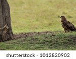 tawny eagle seeing a bat eared... | Shutterstock . vector #1012820902
