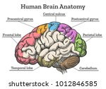 human brain anatomy diagram.... | Shutterstock .eps vector #1012846585