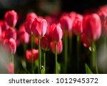 amazing nature concept of pink... | Shutterstock . vector #1012945372