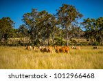 Small photo of Grazing land on an Australian cattle property in South East Queensland. Herd of Charolais cross Brahman cows amongst the grass pasture with ironbark trees beyond. Blue sky. Copy space. Darling Downs.