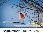 bullfinches on the branch.angry ... | Shutterstock . vector #1012973842