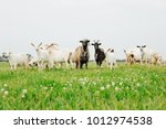 a flock of young white and... | Shutterstock . vector #1012974538