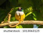 gouldian finch erythrura... | Shutterstock . vector #1013063125