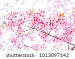 pink cherry blossoms are... | Shutterstock . vector #1013097142