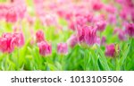 beautiful bouquet tulips in... | Shutterstock . vector #1013105506