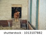 hen in the hen house | Shutterstock . vector #1013107882