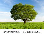 a field on which grows one... | Shutterstock . vector #1013112658
