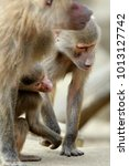 family of hamadryas baboons in... | Shutterstock . vector #1013127742