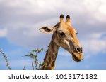 close up view of a giraffe's...   Shutterstock . vector #1013171182