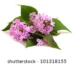 flower lilac isolated on white... | Shutterstock . vector #101318155