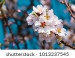 almond blossom branch  blue sky ... | Shutterstock . vector #1013237545