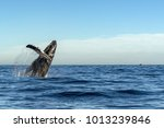 humpback whale breaching on... | Shutterstock . vector #1013239846