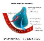 gas exchange within alveoli  | Shutterstock .eps vector #1013252122