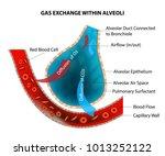 gas exchange within alveoli  | Shutterstock .eps vector #1013252122