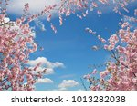 blooming cherry trees at... | Shutterstock . vector #1013282038