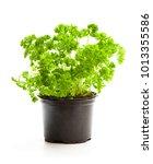 curly  parsley herbs in pot... | Shutterstock . vector #1013355586