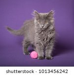 Stock photo long hair gray kitten on purple bg 1013456242