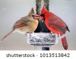 Northern Cardinal Pair On Icy...
