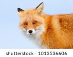 red fox in white snow. cold... | Shutterstock . vector #1013536606