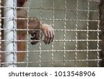 monkey reaching its hand out...   Shutterstock . vector #1013548906