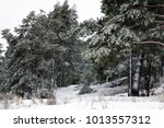 photo of a beautiful coniferous ... | Shutterstock . vector #1013557312