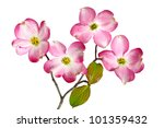 Stock photo red dogwood blossom flowers isolated on white background 101359432