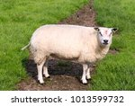 Funny Sheep Looking At The...