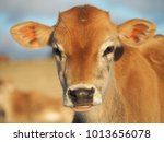 calf in the pasture | Shutterstock . vector #1013656078