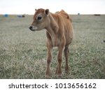 calf in the pasture | Shutterstock . vector #1013656162