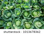 cabbage from field. cabbage... | Shutterstock . vector #1013678362